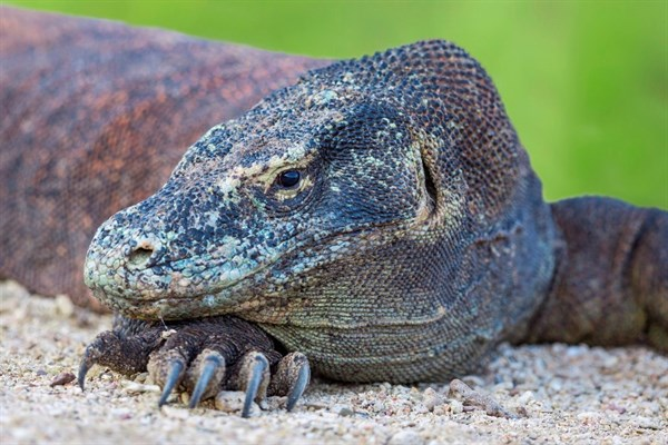 Indonesia A Komodo Dragon Resting Its Head On A Foot With Large Sharp Claws (1)