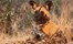 Nambwa Tented Lodge Bwabwata National Park Namibia 24 Nambwa Activities Wild Dog Sightingsjpg
